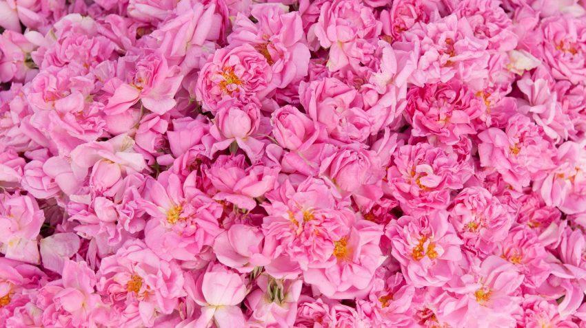 pink roses landscape orientation